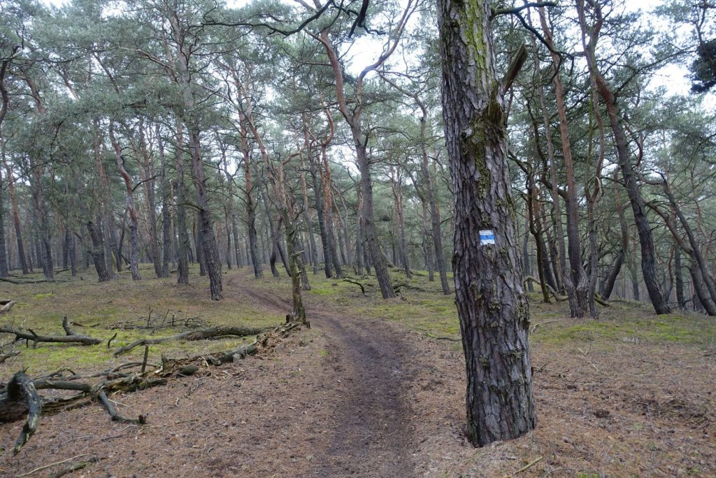 Wanderweg durch Kiefernwald