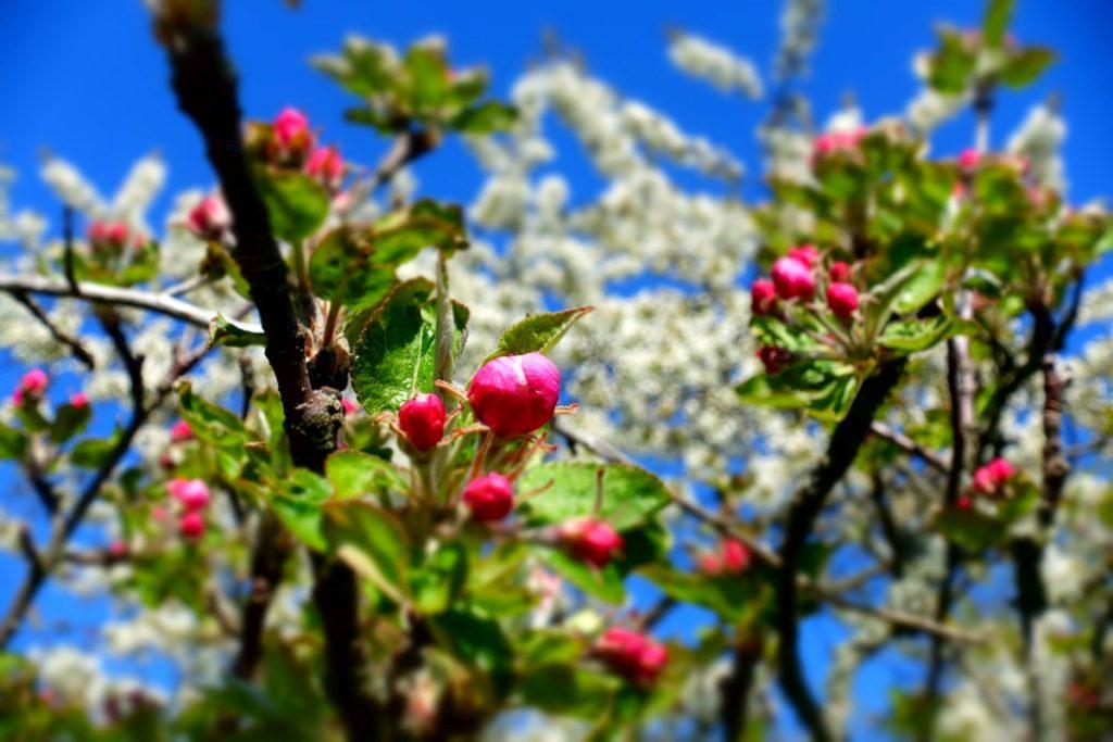 rote und weiße Blüten vor blauem Himmel