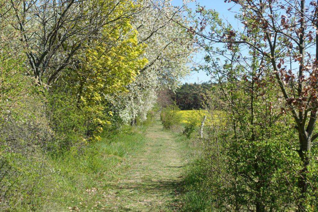 Ortolan-Wanderweg entlang der blühenden Feldhecke