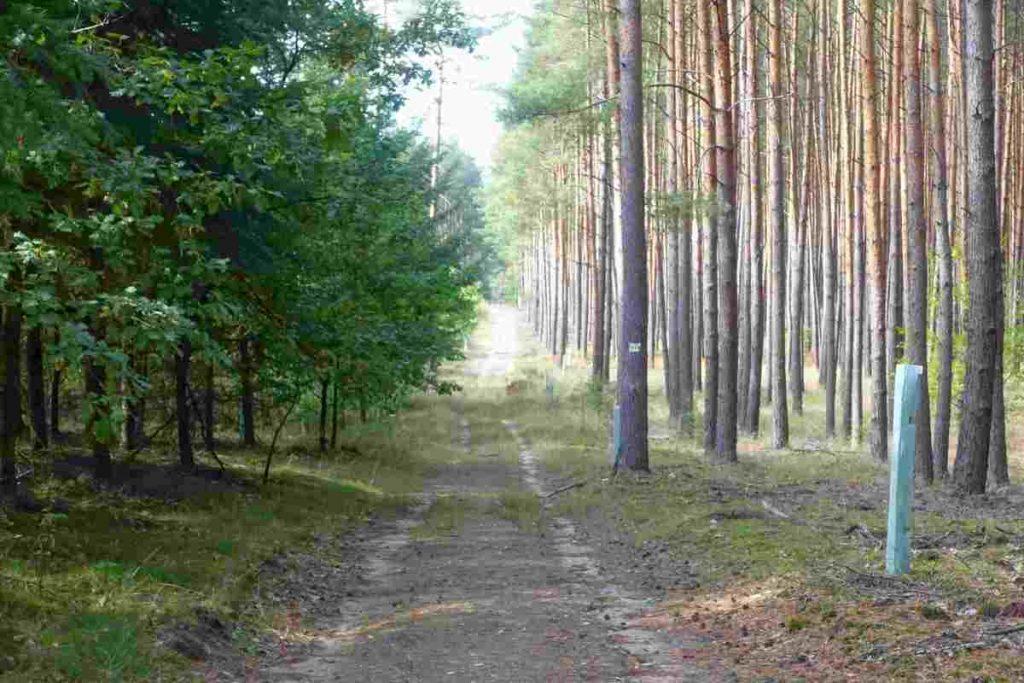 Waldweg im Kiefernwald